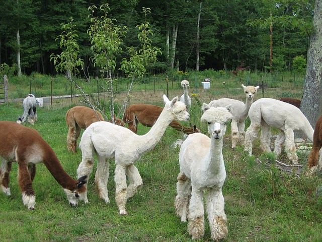 Alpacas Grazing
